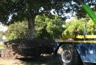 Abington QLD Tree transplanting 5